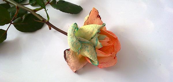 Как покрасить розу в домашних условиях