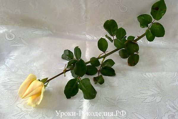 сорта белой розы, букет, цветы подарок, радужная роза