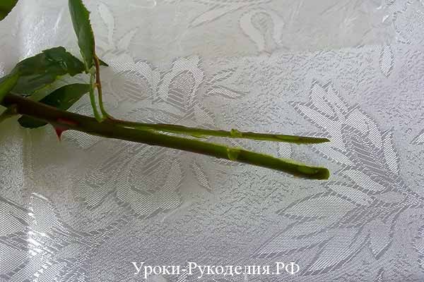черенок розы, белый сорт роз, как сделать радужную розу в домашних условиях, цветы на подарок, мк по флористике, шипы розы, пищевая краска