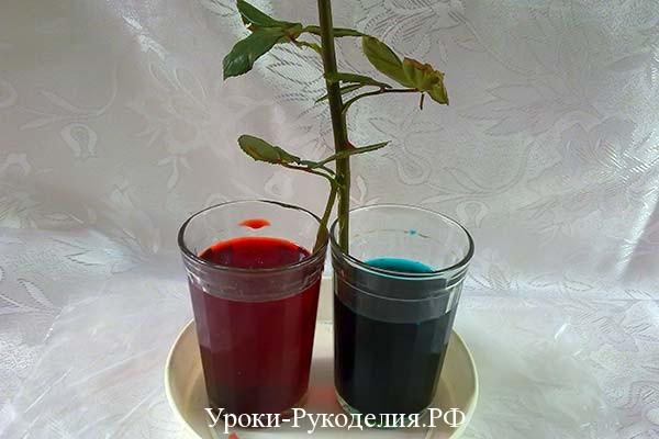 расщепить ствол, подрезать розу, радужные цветы, синяя роза, в домашних условиях, как сделать дома розу цветную