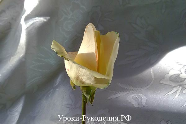 ободочек, рюшка на розе, цветная роза, радужные цветы как сделать, своими руками, краски для цветов, какую розу подарить