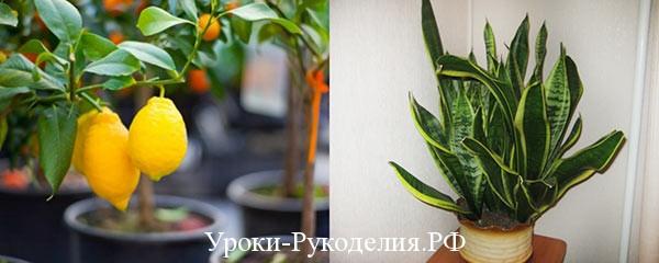 янские растения в доме
